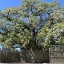 Ombalantu Baobab tree, Outapi