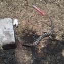 Spitting cobra which attacked the dogs (or vice versa). Torched with paraffin and finalized with a brick. Both dogs got the venom into the eyes. Flushing with milk helped, no apparent damage of their vision.