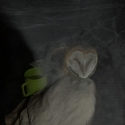 Young barn owl at Ben\'s hospital ward after being attacked by the dogs.