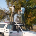No ladder around?, not a problem. Harvesting of Eenyandi fruits nearby my house.
