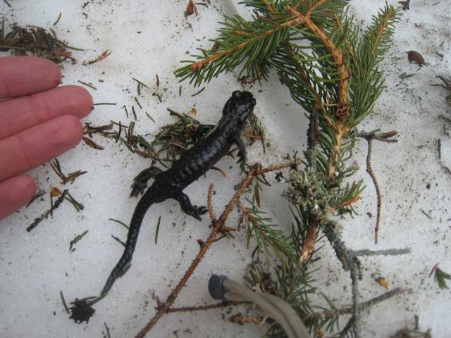 Day 7: salamander
